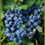 Blueberry Tif Blue