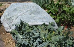 Floating row cover is a light weight spun fabric designed to protect plants from frost.