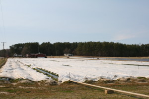 A strawberry field with row covers in place. Photo: Hannah Burrack