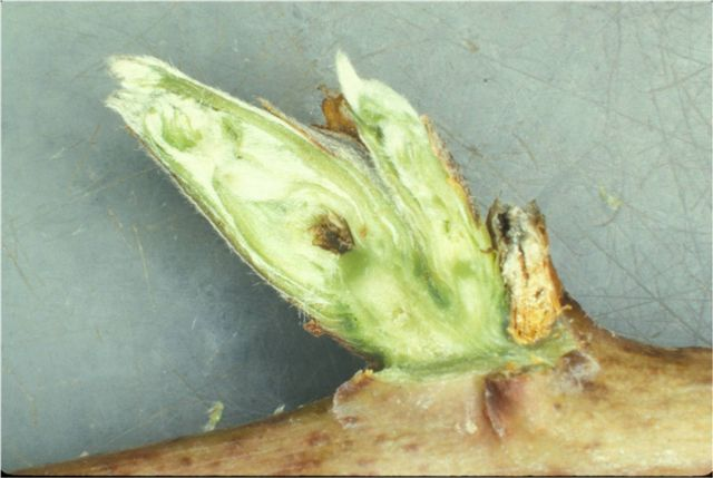 Primary bud is damaged as indicated by necrosis of partially differentiated inflorescence axis. Secondary bud is still undifferentiated, no sign of damage. Photo:Fumi Takeda.