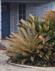 If not protected, cold sensitive landscape plants such as sago palm will likely be damaged by extreme cold.