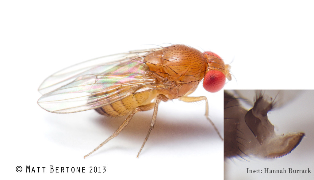 Female spotted wing drosophila have complete abdominal bands but lack wing spots. They can be distinguished from other female Drosophila by their relatively large, knife-like ovipositor. Image © Matt Bertone, Insect Hannah Burrack