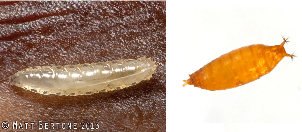 Left: Unidentified Drosophila larvae on banana peel. Image © Matt Bertone 2013. Right: SWD pupae. Image Jesse Hardin.