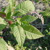 Common Pokeweed
