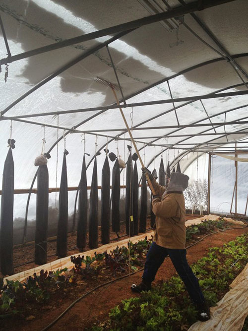 Ches Stewart knocks the snow off from inside the high tunnel at Granite Springs Farm in Pittsboro. Photo by Laura Reedy Stewart.
