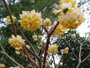 Edgworthia flowers