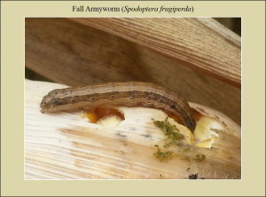 FAW Larva on Corn Cob