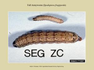 FAW Larva