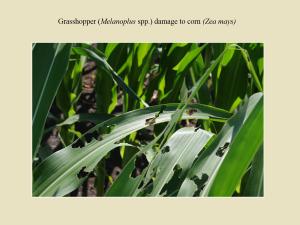 GrassHopper_DamageCorn