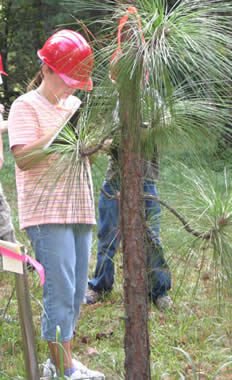 Young woman dentifying a pine tree