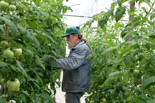 Screech Sweger in his tomato greenhouse.