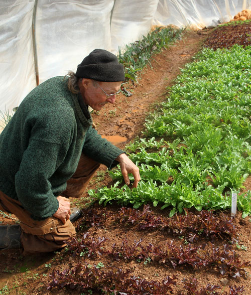 Doug inspects slow-growing 10-week old lettuce plants. He is just now able to start harvesting, about three weeks behind schedule.
