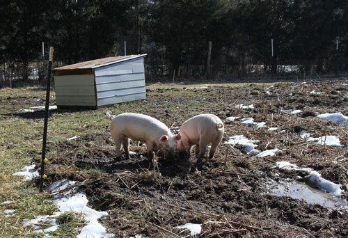 4 month old pastured pigs at Perry-winkle Farm.