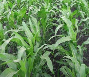 Organic corn growing in field