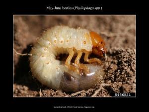 MayJuneBeetle_Larva