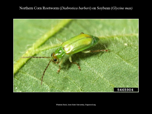 NortherCornRootworm_Soybean