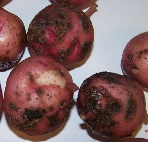 Potatoes grown in dry sandy soils and soils with pH over 5.5 are more prone to scab disease.