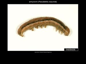 True Armyworm Larva