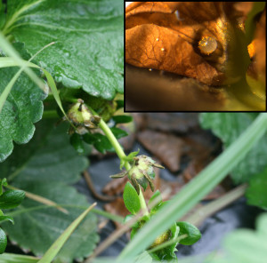 Buds damaged by strawberry clipper weevil, and (inset) strawberry clipper weevil egg inside bud. Photo: Hannah Burrack