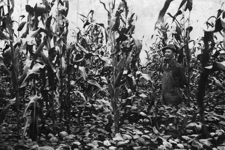 A 1917 farmer in a field of corn and other crop, possibly soybeans. At the time, Extension recommended corn-and-soybean intercropping.