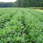 rows of soybean plants in a field