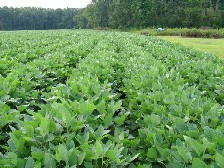 rows of soybean plants in a field