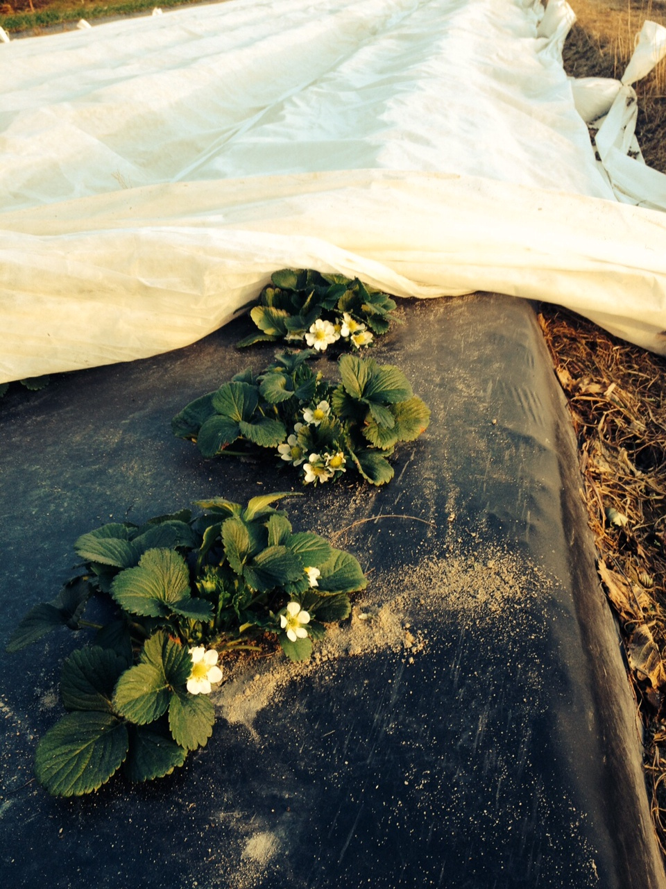 lee berry 2-3 blooms