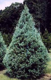'Carolina Sapphire' cypress