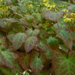Epimedium_x_versicolor_Sulphureum-Raj