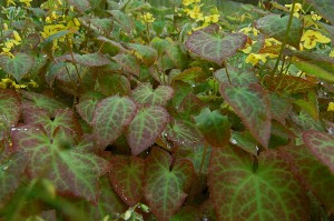 Epimedium with red variegated leaves