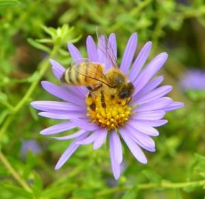 noneybee on flower