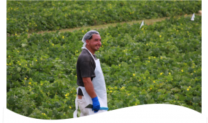 Spanish-worker-in-agriculture-300x178