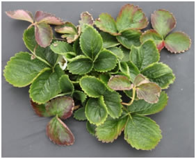diseased strawberry plant