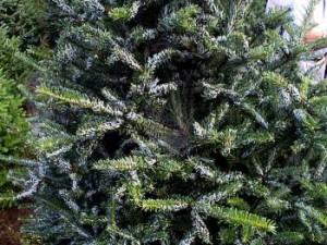 Balsam twig aphid damage