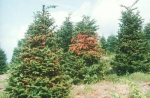 Balsam woolly adelgid damage