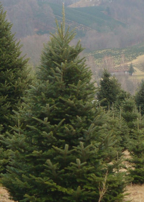 Fraser fir tree in Christmas tree field