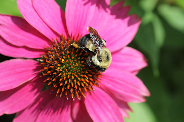 Bumble bee on coneflower
