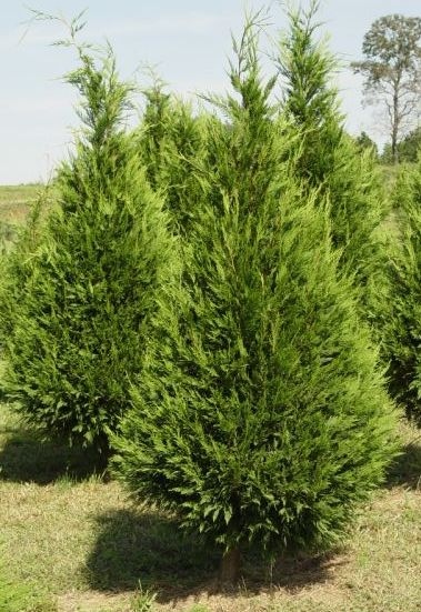 Leyland Cypress tree in Christmas tree field