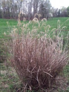 _Miscanthus_sinensis_ has a distinctive look. Recognizing it is the first step in controlling this potentially invasive plant.