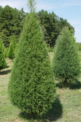 Eastern red cedar in field