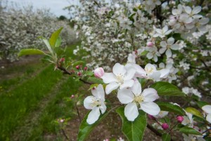 apple blooms-60
