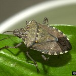 Brown marmorated stinkbug