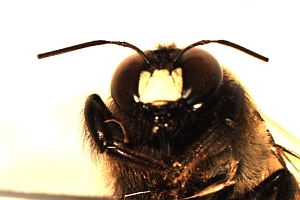 Male carpenter bee