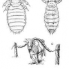 cattle lice