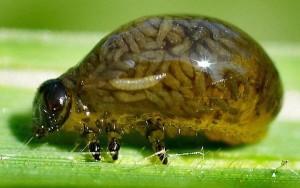 cereal leaf larvae