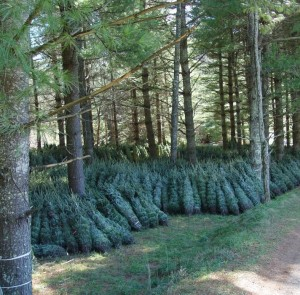 Cut trees stored under shade of white pines
