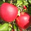 crimson apple