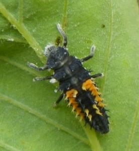 immature ladybug