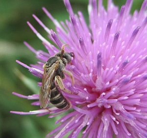Sweat bee (Halictus?)