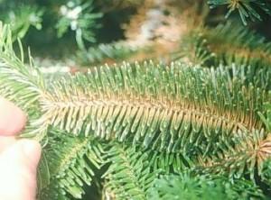 Spruce spider mite damage